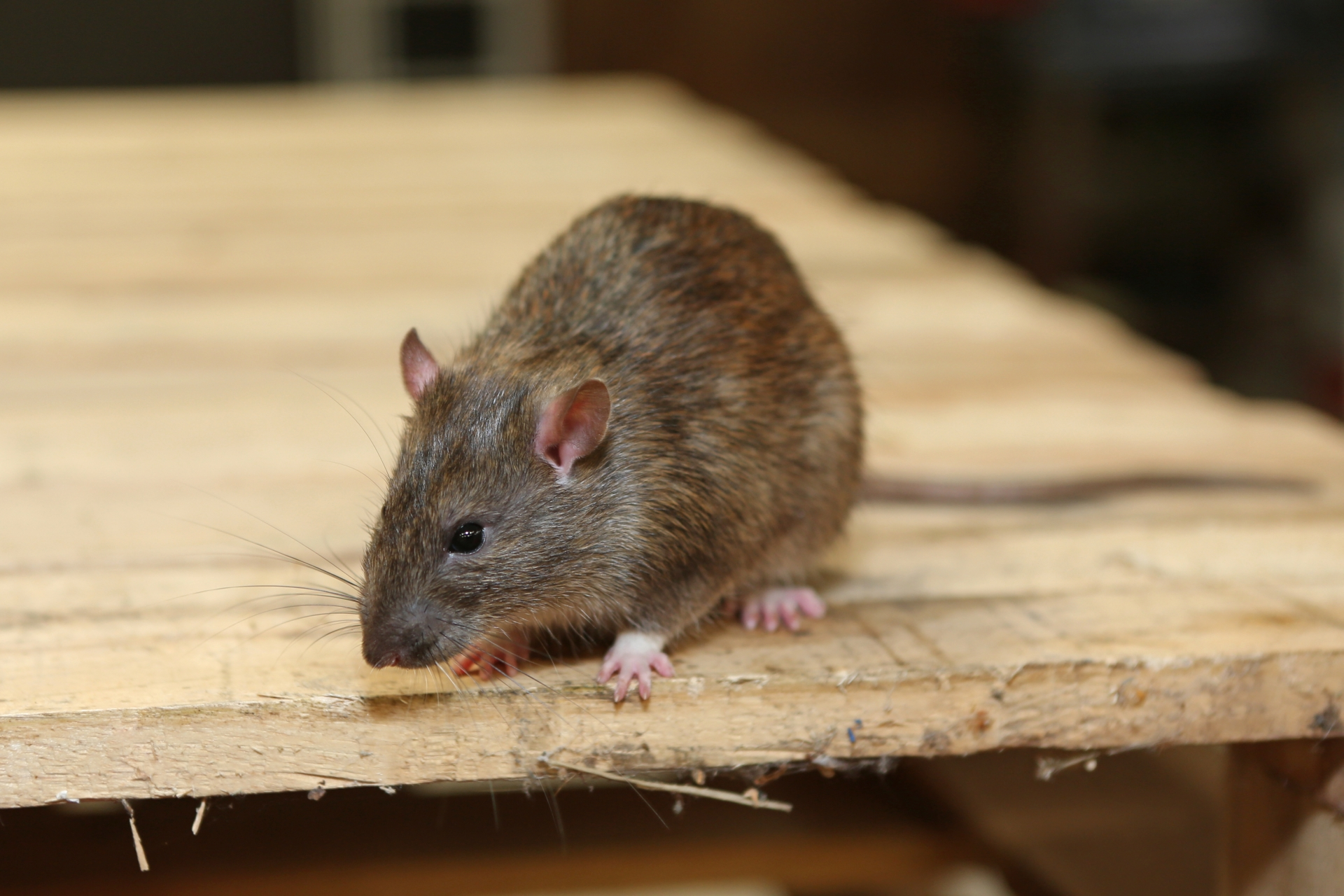 Rat Control, Pest Control in Tufnell Park, N19. Call Now 020 8166 9746