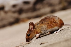 Mouse extermination, Pest Control in Tufnell Park, N19. Call Now 020 8166 9746