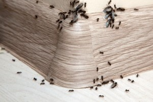 Ant Control, Pest Control in Tufnell Park, N19. Call Now 020 8166 9746